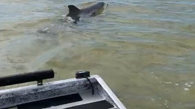 WATCH: Friendly dolphin tails Florida police boat