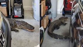 North Port resident finds large gator in their garage