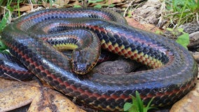 Rare rainbow snake spotted in Ocala for first time since 1969