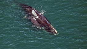 3 more right whales, calves spotted off coast of Florida