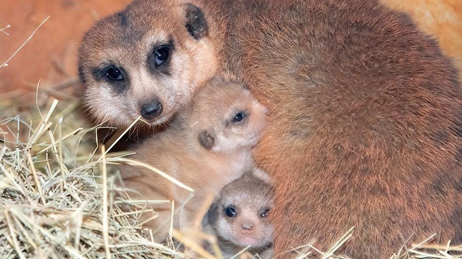 miami-baby-meerkats-2.jpg