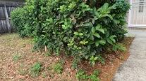 Man dresses as bush to sneak out during coronavirus lockdown