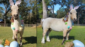 Miniature horse from Ocala competing to become the next Cadbury Bunny