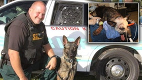 Polk K-9 recovering after being stabbed repeatedly in the head by burglary suspect