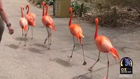 Flamingos take a tour of deserted Denver Zoo