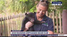 Zoo raising orphaned bear cub