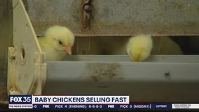 Chicks flying off shelves amid COVID-19 pandemic
