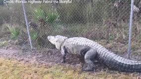 Gator seen taking stroll along Florida's 'Alligator Alley' roadway