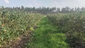 Mount Dora blueberry farm among other produce growers impacted by pandemic