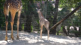 125-pound giraffe calf born at Brevard Zoo in Melbourne