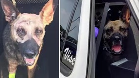 Polk K-9 back to work after being stabbed in the head by suspect