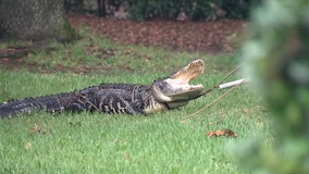 'He's a big gator': Nearly 9-foot gator found in Tampa resident's pool