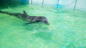 SeaWorld Rescue rehabilitates stranded Atlantic bottlenose dolphin