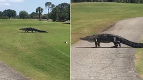 Massive gator slowly treks across Florida golf course