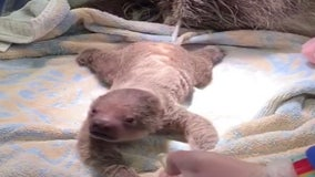 Baby sloth welcomed after hard birth at Rhode Island zoo