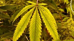 Florida justices weigh recreational marijuana ballot proposal