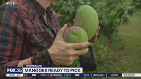 David Does It: Mangoes ready to pick