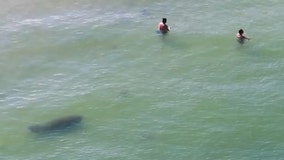 Watch: Curious manatee joins beachgoers on Father's Day