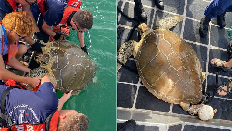 entangled turtle