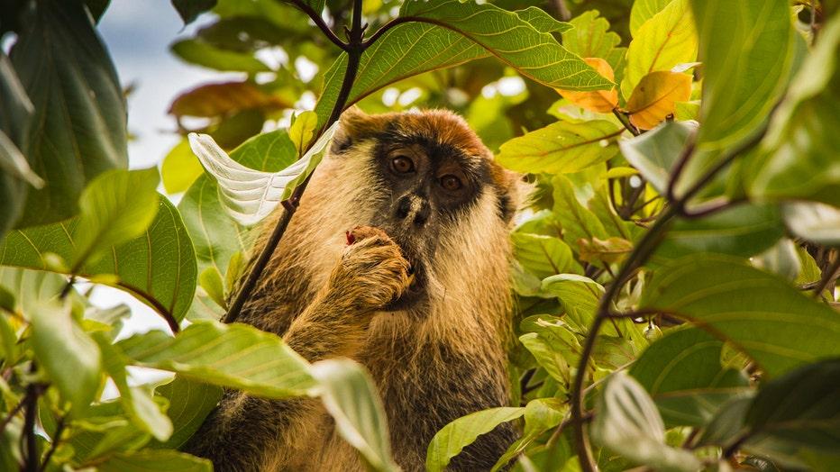 African_Parks_Chinko_Patas_Monkey.jpg