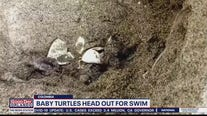 Baby turtles head out for swim