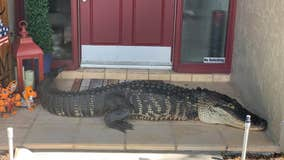 'Alligator at front door! Seriously': 8-foot alligator missing limbs found outside Florida home