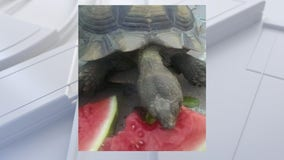 Family tortoise goes missing from Sanford backyard
