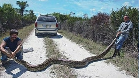 Slithery milestone: 5,000 pythons captured in Florida Everglades
