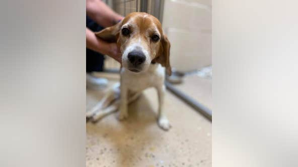 Abandoned beagle found paralyzed, dragging himself down road
