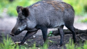 Nude man seen chasing down wild boar after it stole his laptop while he was sunbathing