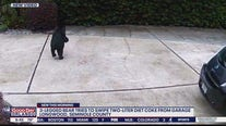 Bear tries to swipe Diet Coke from garage