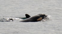 Second new orca baby spotted with J-Pod in less than a month