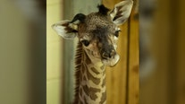 It's a girl! Disney's Animal Kingdom welcomes baby giraffe