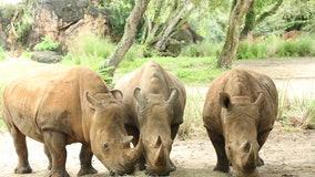 World Rhino Day: Disney says 3 rhinoceros at Animal Kingdom are pregnant