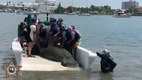 Injured manatee rescued, taken to ZooTampa for rehabilitation