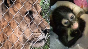 Survivors of exotic animal black market find new homes in Florida