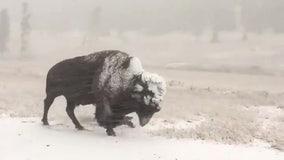 Bison walks through 'unseasonable' Labor Day snowstorm in Yellowstone National Park