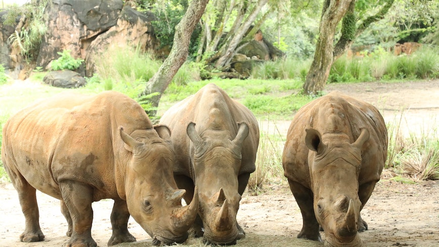 World Rhino Day: Disney says 3 rhinoceros at Animal Kingdom are pregnant