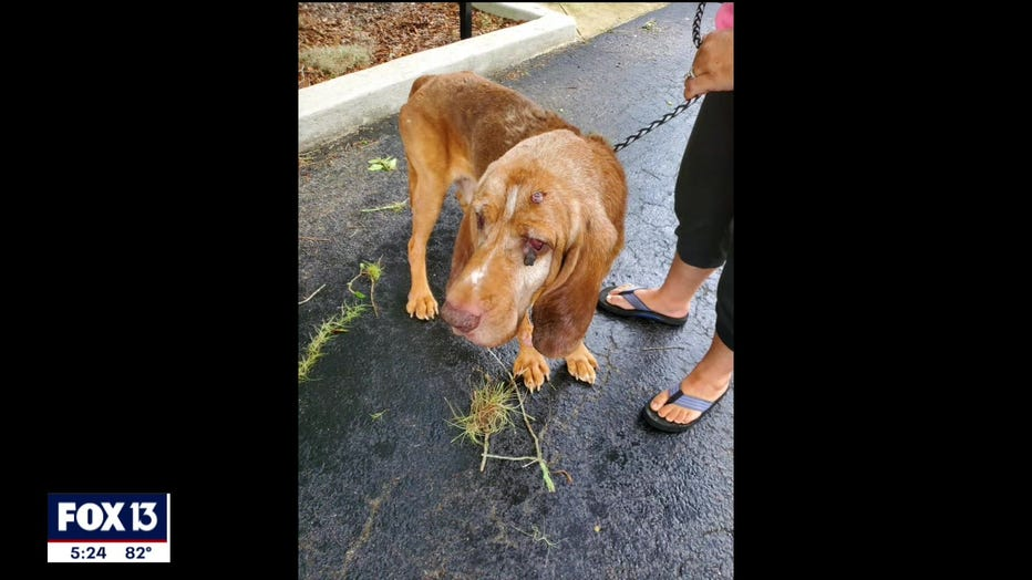 rescued-bloodhound-polk-florida-5.jpg