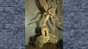 Woman captures fascinating video of huntsman spider during molting process