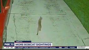 More bobcat sightings in Orlando