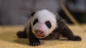 It's a boy! National Zoo reveals gender of newest panda cub