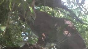 VIDEO: Bobcat spotted in backyard near Orlando elementary school