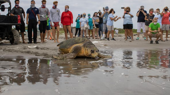 Brevard Zoo releases 370-pound sea turtle back into the ocean