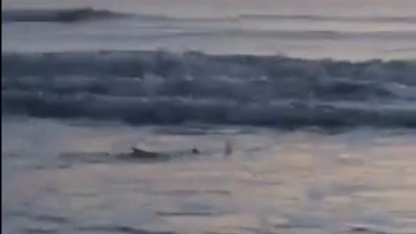 VIDEO: Shark spotted swimming in shallow water at New Smyrna Beach