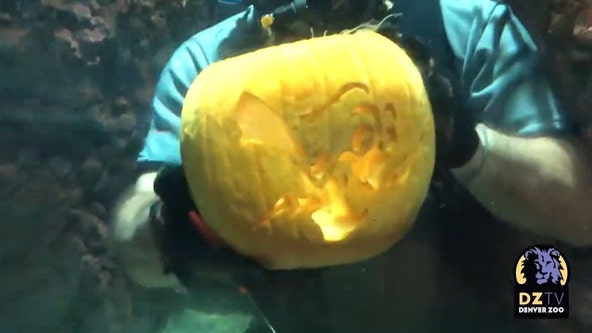 Denver Zoo divers treat fish to underwater pumpkin-carving show