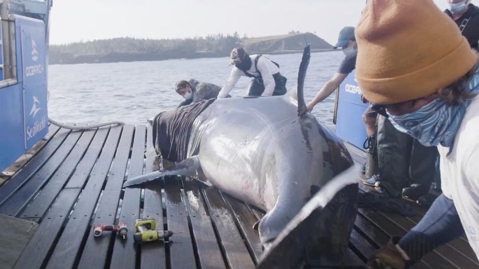 ocearch great white shark