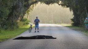 Large gator blocks road in Myakka River State Park