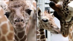 It's a boy! Indianapolis Zoo welcomes adorable baby giraffe