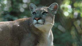 Florida panther struck and killed by vehicle; 1st panther death of 2021